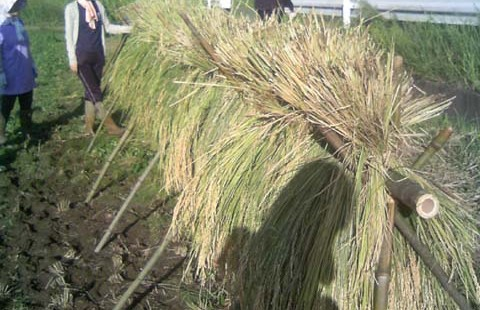 2013年 第8回 籾摺り、収穫祭