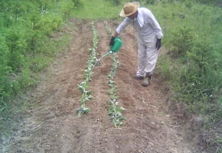 2014年 第6回 サツマイモ植え付け、田の草取り、ホタル鑑賞