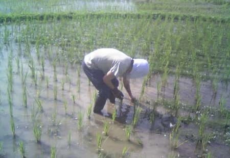 2014年 第7回 刈払機講習、田の草取り