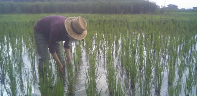 2014年 第8回 刈払機講習、田の草取り